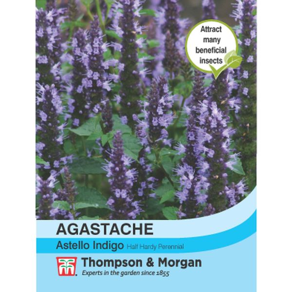 T&M Agastache Astello Indigo