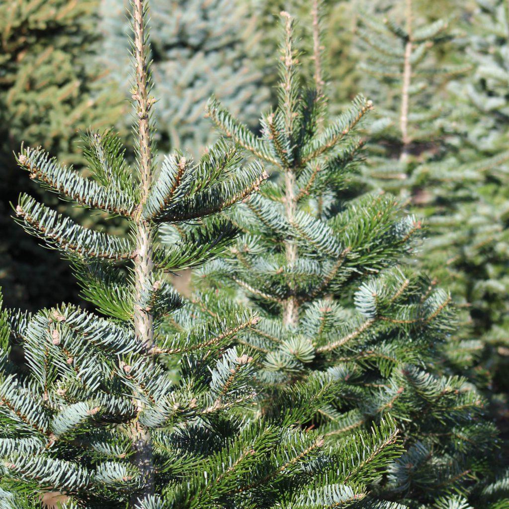 Christmas Tree In Garden: Yarnton Home & Garden